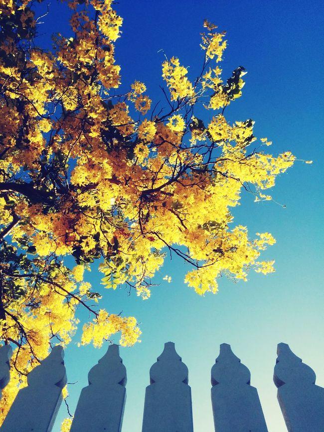 Lift Showcase: January Flowering Tree Yellow Flowers