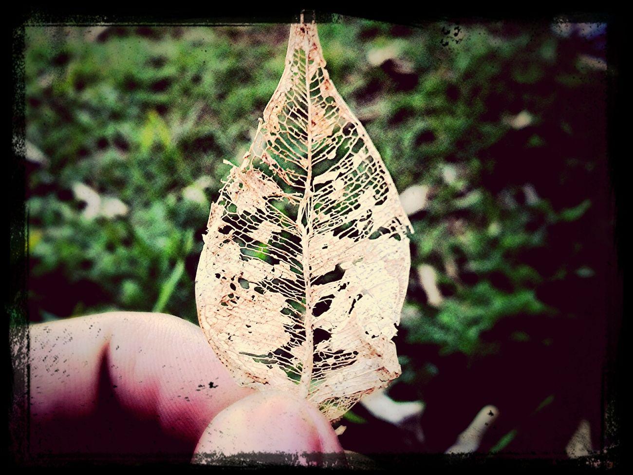 Nature Perspectives Una oja de un arbol muy conosido por acá(Ficus) @GalaxySIIIMini