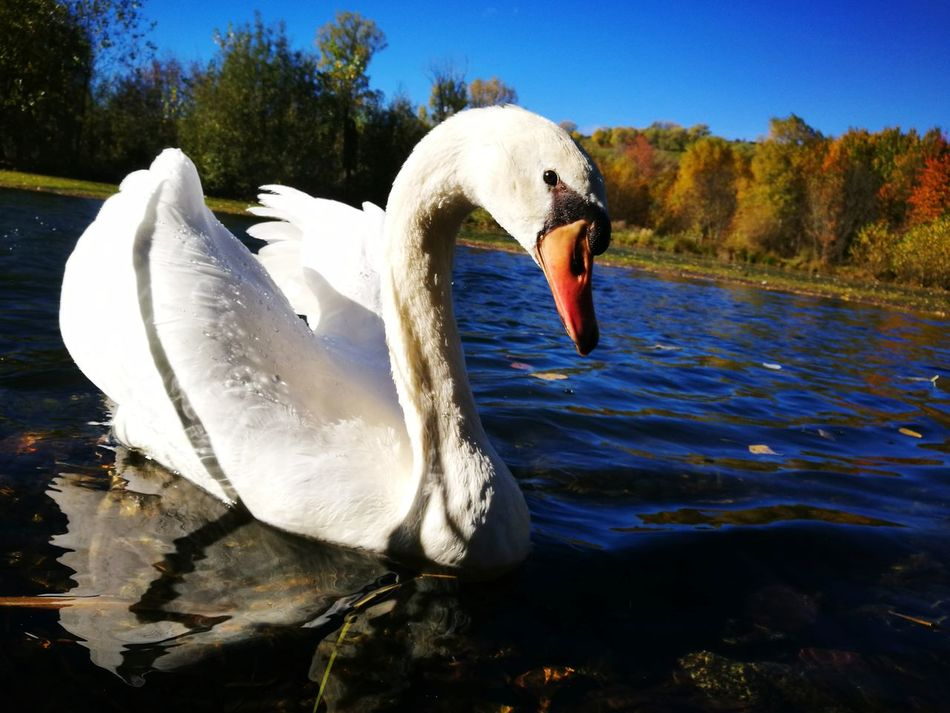 One Animal Swan Water Lake Saillagouse Outdoors Beauty In Nature Animals In The Wild Swimming Nature Close-up