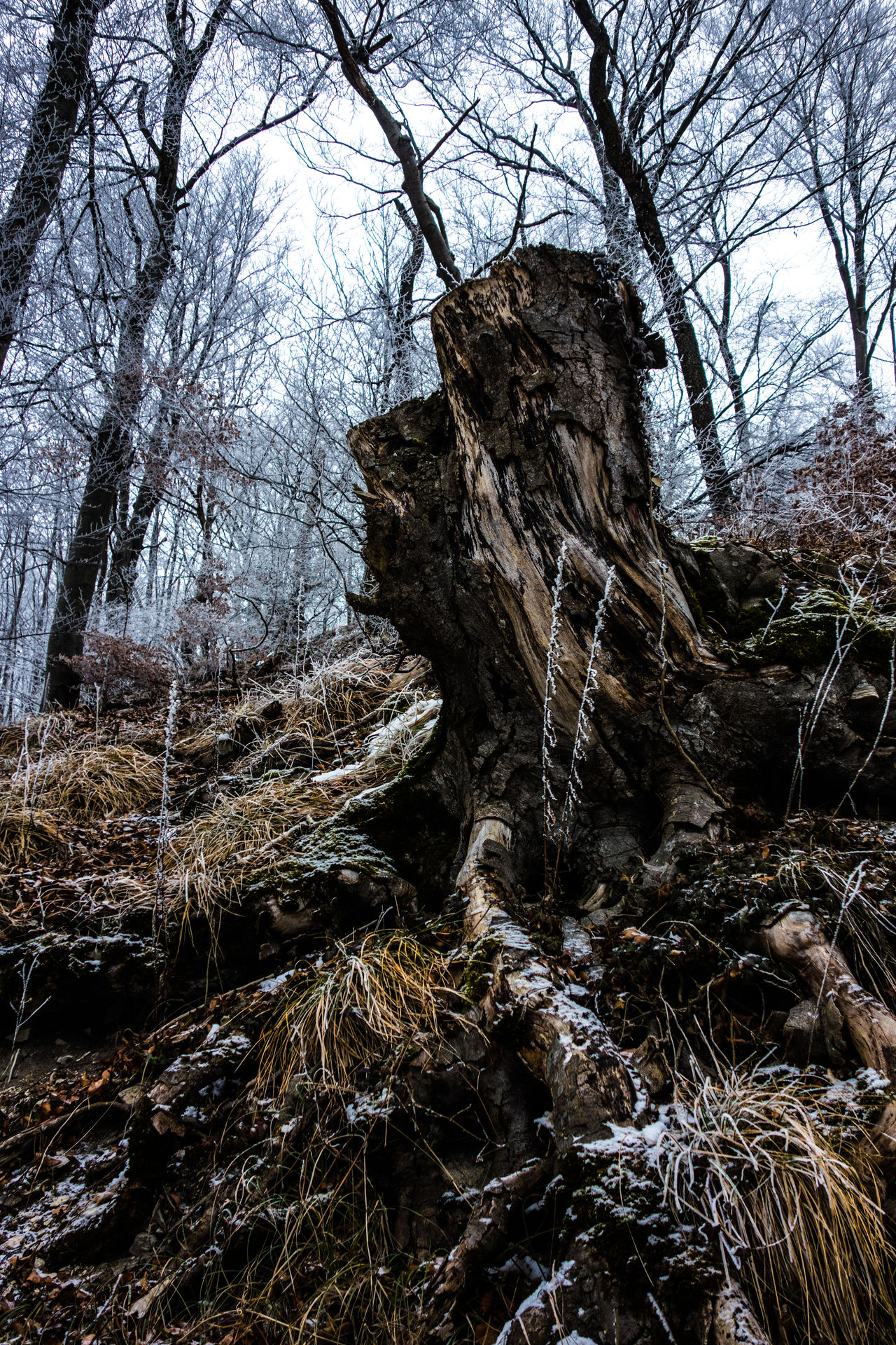 Beauty In Nature Branch Cold Days Cold Temperature Cold Temperture Day Forest Grass Knaggy Knobbed Knotty Landscape Nature No People Outdoors Scenics Sky Snag Snow Stump Tranquility Tree Tree Trunk Winter Winter Trees
