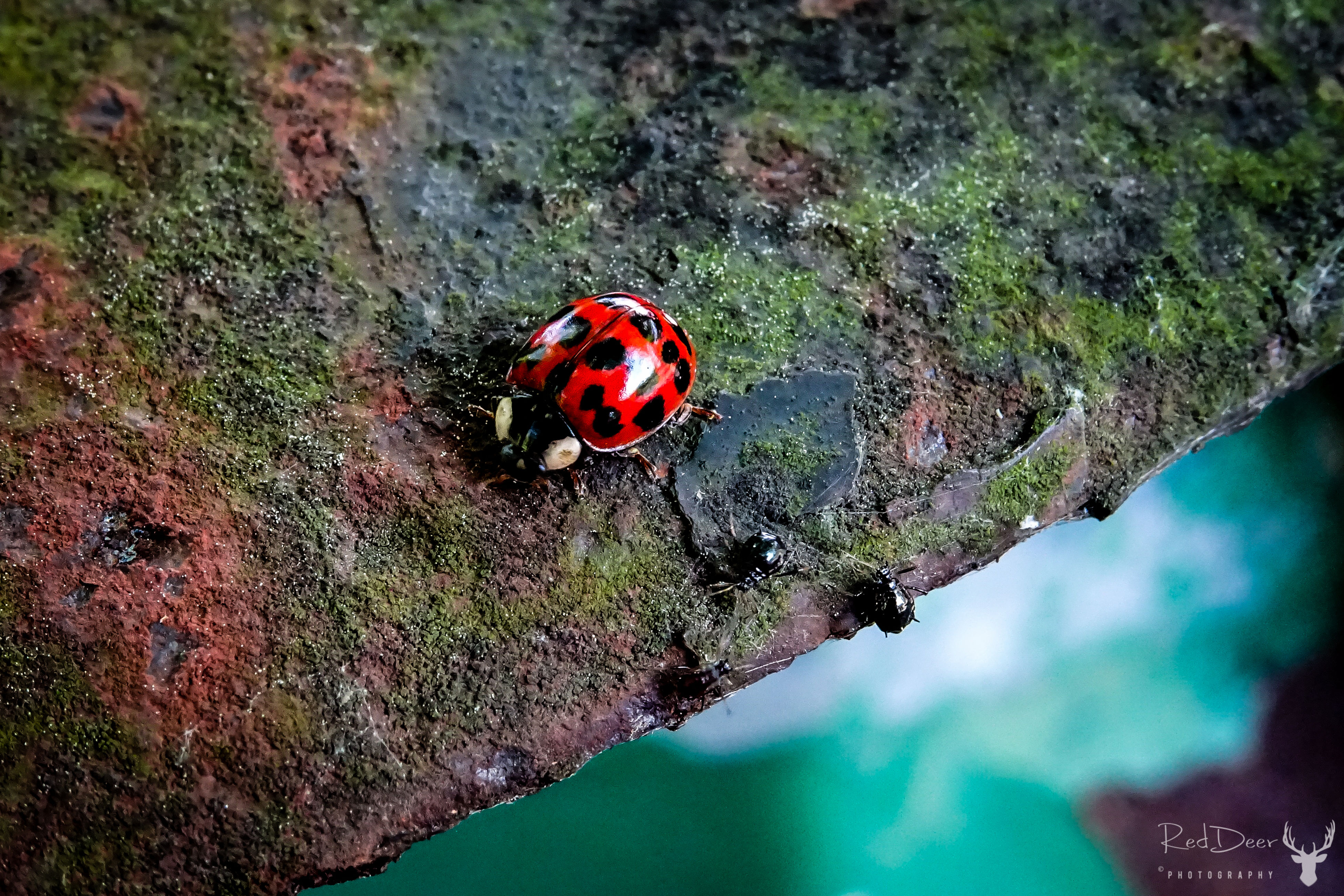insect, animals in the wild, animal themes, red, one animal, ladybug, no people, tiny, nature, close-up, day, outdoors, animal wildlife, beauty in nature