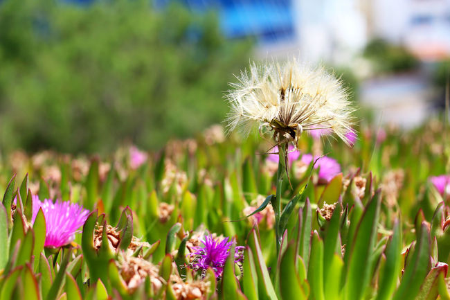 Beauty In Nature Close Up Close-up Dandelion Day Flower Flower Head Flowers Focus On Foreground Fragility Freshness Greece Growth In Bloom Lesbos Lesvos Nature No People Outdoors Petal Pink Color Plant Pollination Purple Selective Focus