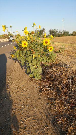 No Filter No Filter, No Edit, Just Photography Roadside Flowers Roadside Landscape Roadside Beauty Sunflowers Wildflowers