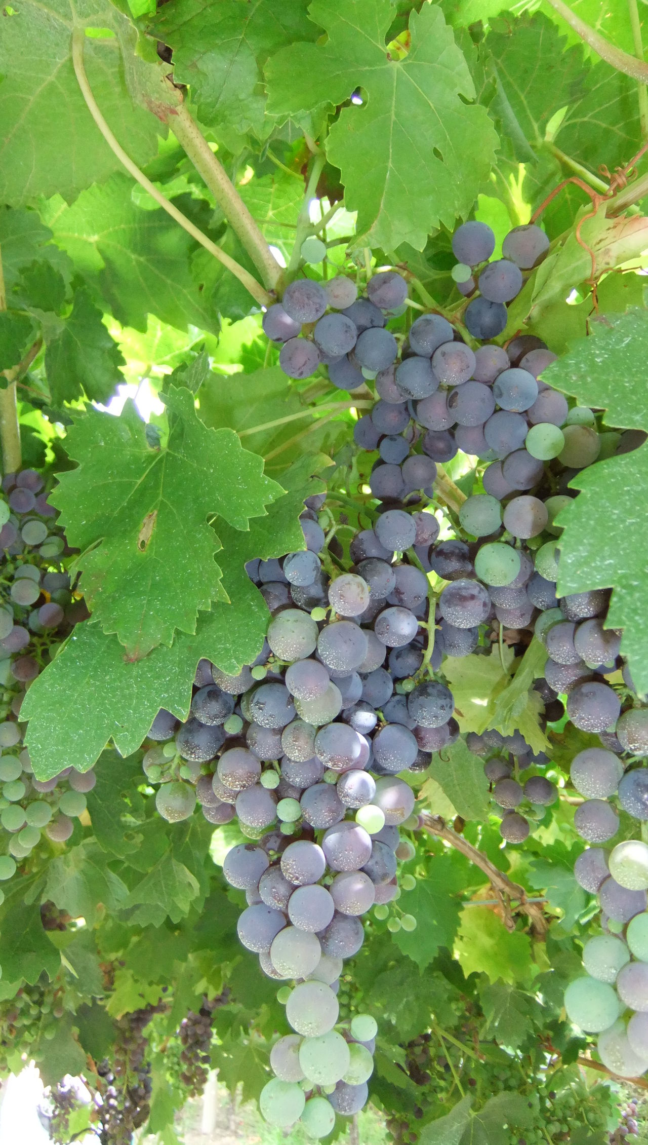 Grapes Vines Vinyard Green Purple Tim Bailie Phone Photography Check This Out No Filter, No Edit, Just Photography Wine Winery No Filter Beautiful Italia Dailyphoto Enjoying Life Vineyard Wineandmore