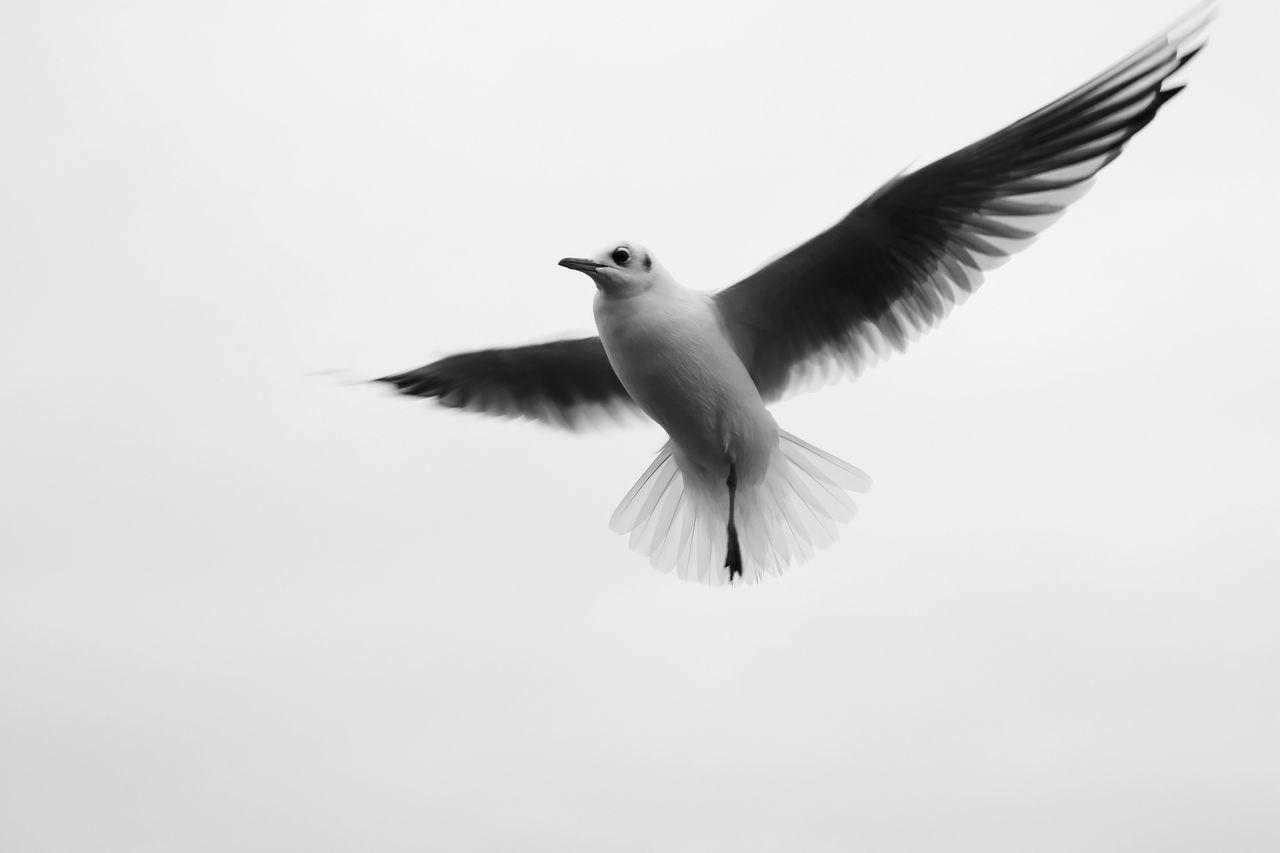 Animal Themes Animals In The Wild Beak Beauty In Nature Bird Blackandwhite Blackheaded Gull Flight Flying Nature No People One Legged Bird Wildlife