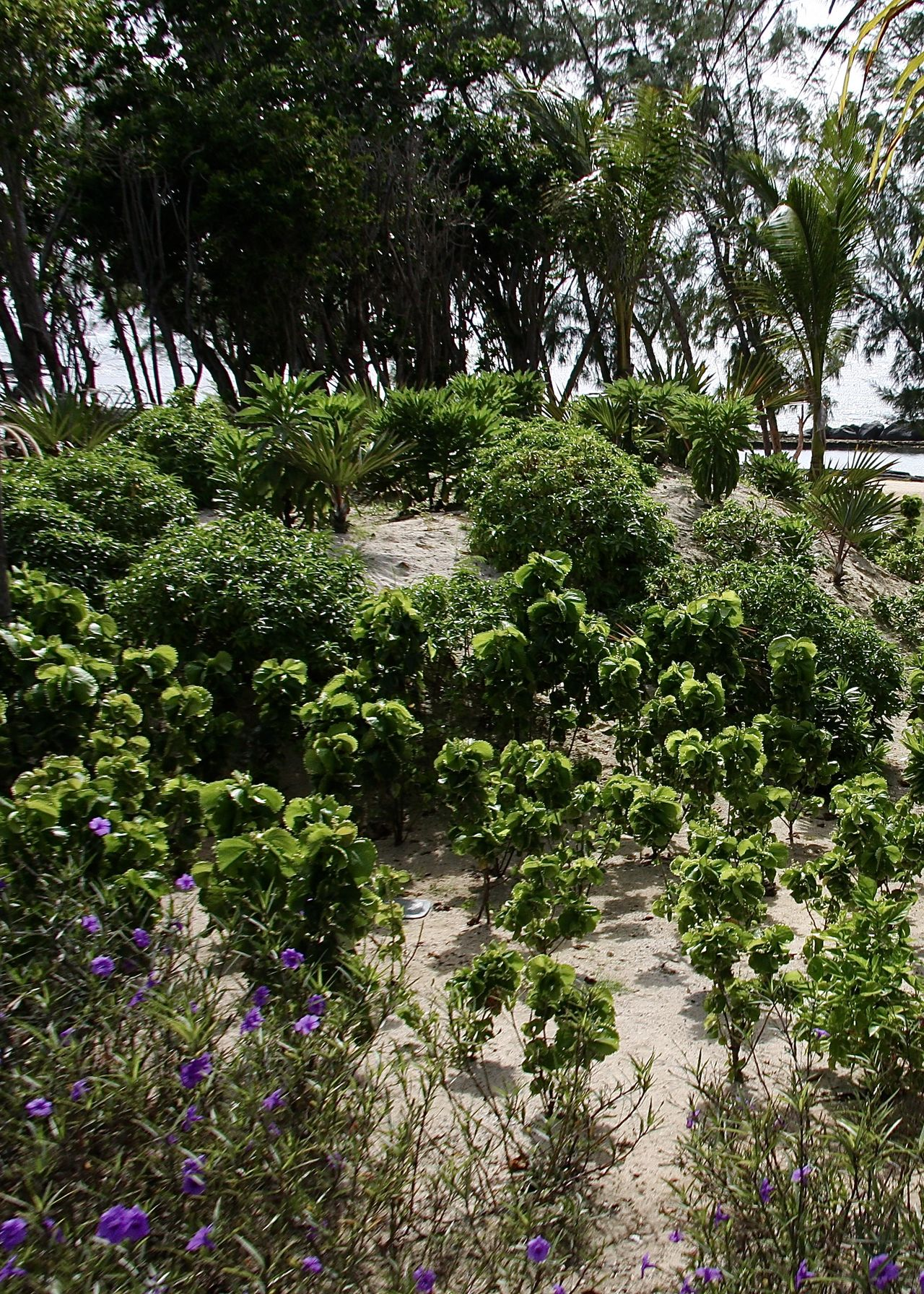 garden in front of beach, Mauritius Beach Beauty In Nature Flora Flowers Freshness Garden Gardening Green Green Color Greenery Growth Lush - Description Mauritius Nature Outdoors Pink Plant Sand Sea Tranquility Travel Tree Trees Tropical Water