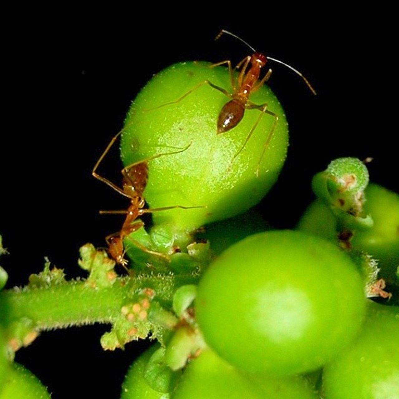 Close-Up Ants On Green Fruit