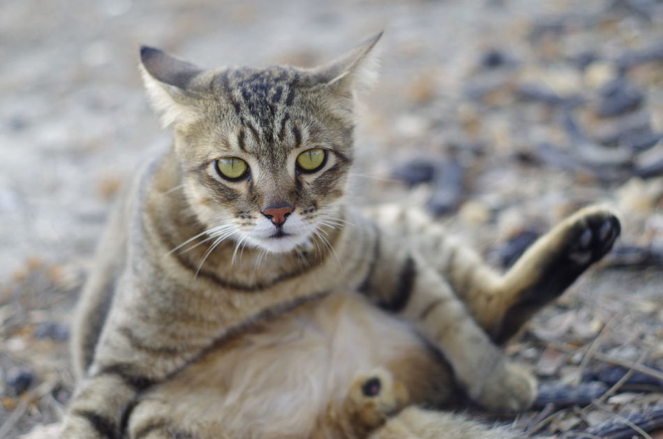 Animal Themes Close-up Day Domestic Animals Domestic Cat Feline Looking At Camera Mammal No People Ocicat One Animal Outdoors Pets Portrait Tabby Cat Whisker