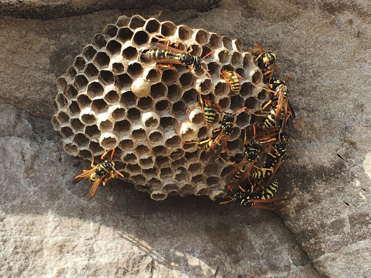 Wasp nest Hive Black And Yellow  Animal Stinger Nest Insect Rock Insects  World Of Nature Nature Wasps Wasp At Work Wasp Nest Wasp Life Wasps Nest Nature_collection Nature Photography Nature On Your Doorstep