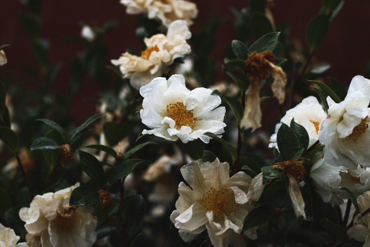 Camellia Rain Simple Quiet Love Nature Beauty In Nature Atmospheric Mood Tranquility Flower