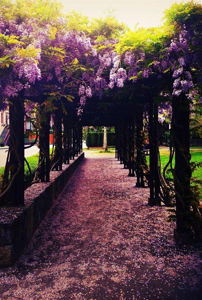 Wisteria Flower Purple Flower Archway Romantic Landscape Love Tunnel Walkway