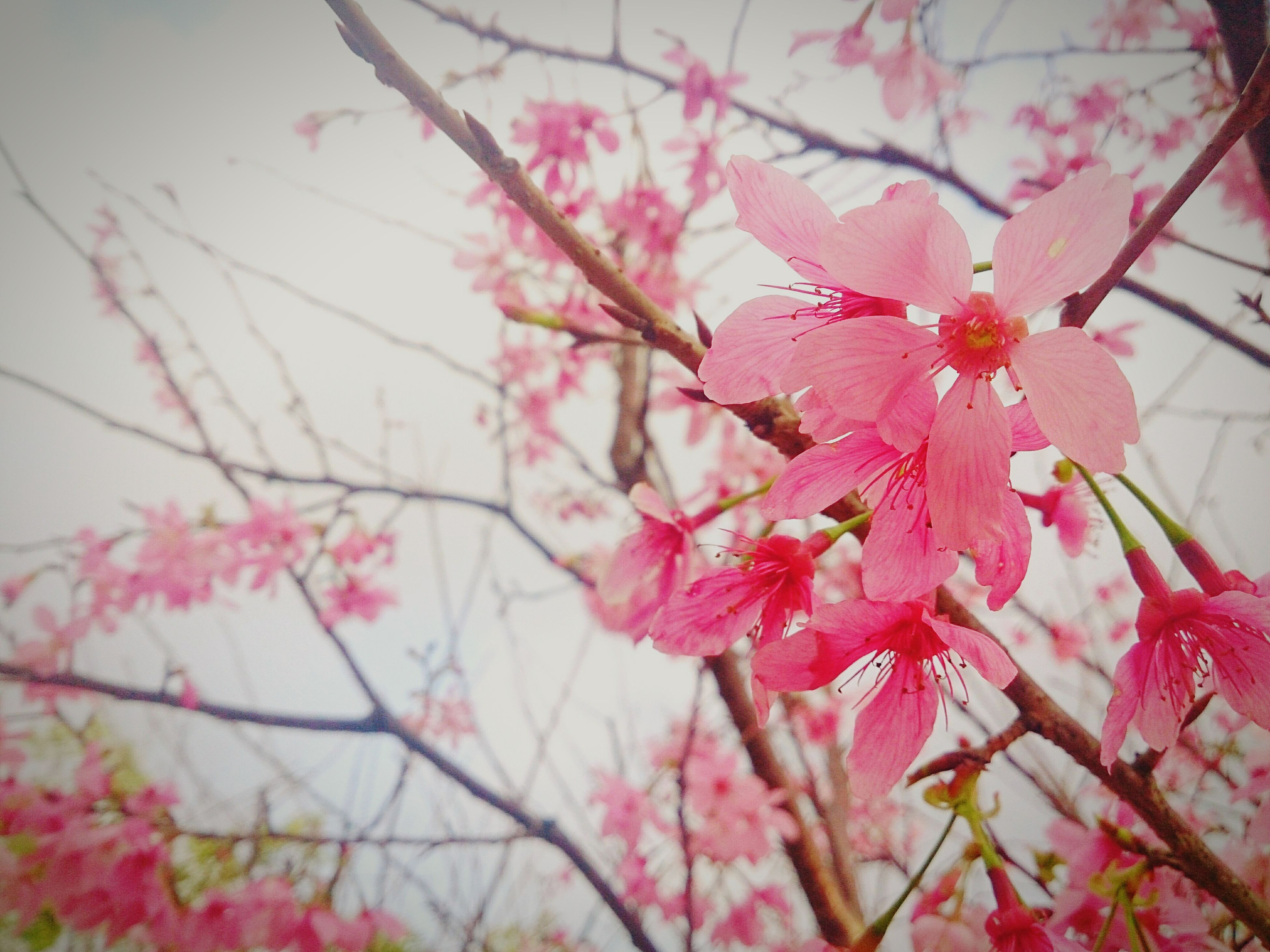 flower, freshness, fragility, pink color, petal, growth, beauty in nature, branch, nature, blooming, blossom, in bloom, tree, flower head, low angle view, close-up, focus on foreground, springtime, cherry blossom, pink