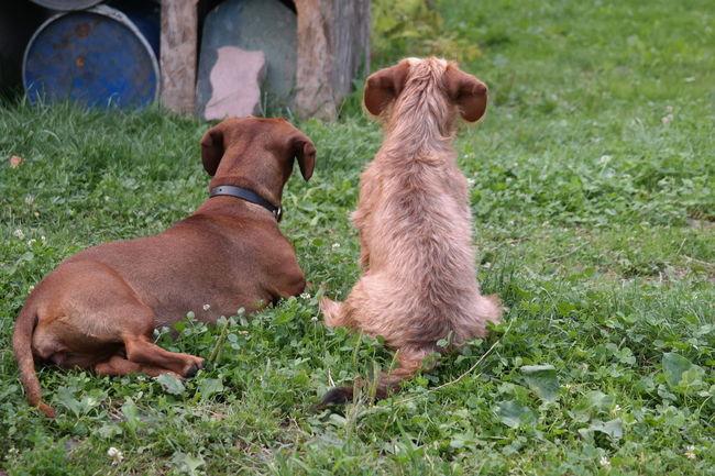 Undisclosed desires Telling Stories Differently Animal Themes Brown Close Up Composition Couple Curiosity Dachshund Dachshunds Dog Dogfriends Domestic Animals Doxie Mammal No People Perspective Pet Pets Portrait Puppies Sitting Two Animals