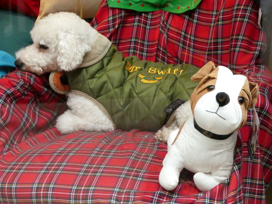 Toy Stuffed Toy Toy Dog Real Dog Poodle, White Poodle Domestic Animals Cute Window Display Close-up Cute Friendsforever Lighthearted Cozy Chair Tartan Blanket Dog Coat Mr Swift No People