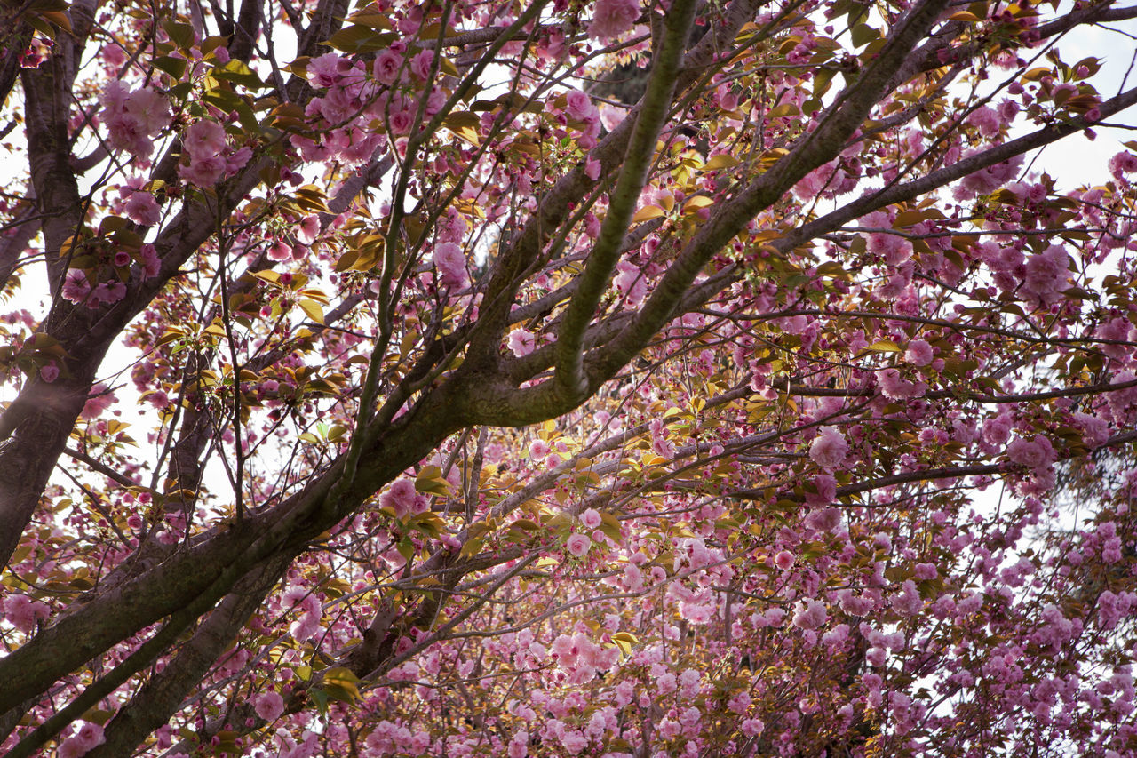 Beauty In Nature Blossom Branch Cherry Blossoms Close-up Day Flower Fragility Freshness Growth Hanami Sakura  Japan Low Angle View Nature No People Outdoors Pink Pink Color Springtime Tree