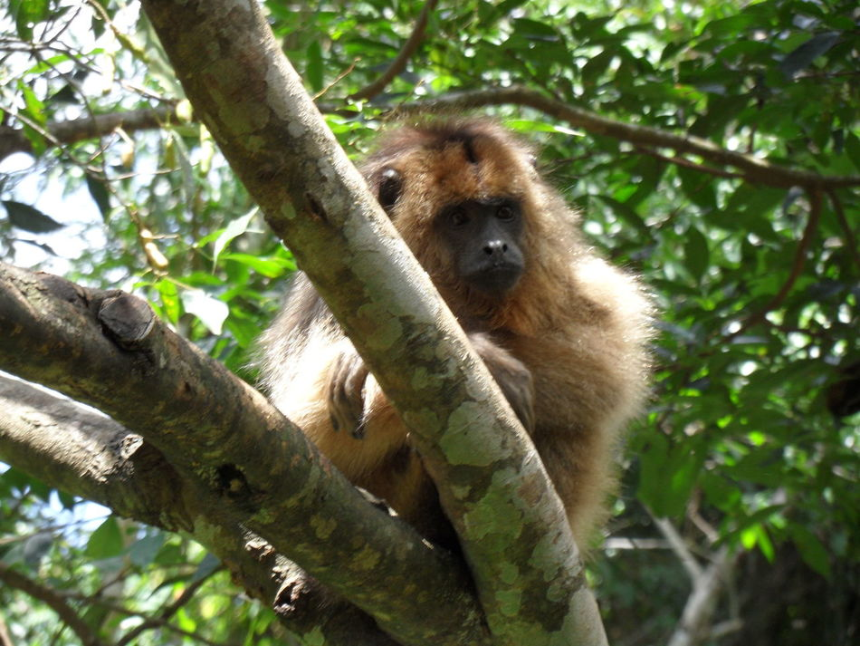Wonderful wildlife, thoughtful monkey 🐒 🙂 Animal In Nature Animal Themes Animals In The Wild Baboon Brasil Day Jungle Animal Mammal Monkey Nature No People One Animal Outdoors Tropical Climate Monkey On Tree South America