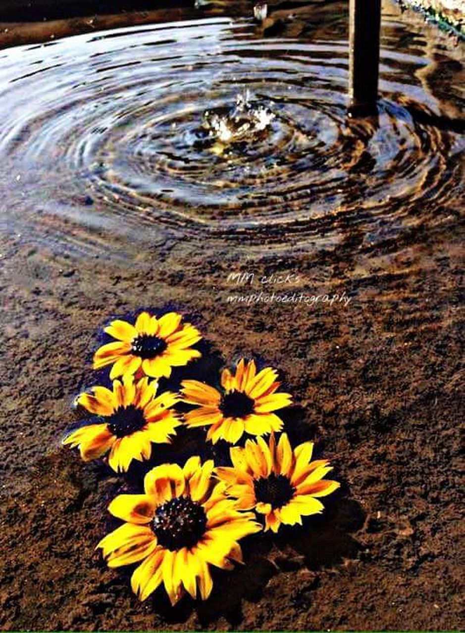 flower, nature, high angle view, yellow, fragility, beauty in nature, day, petal, outdoors, no people, flower head, freshness, close-up, water