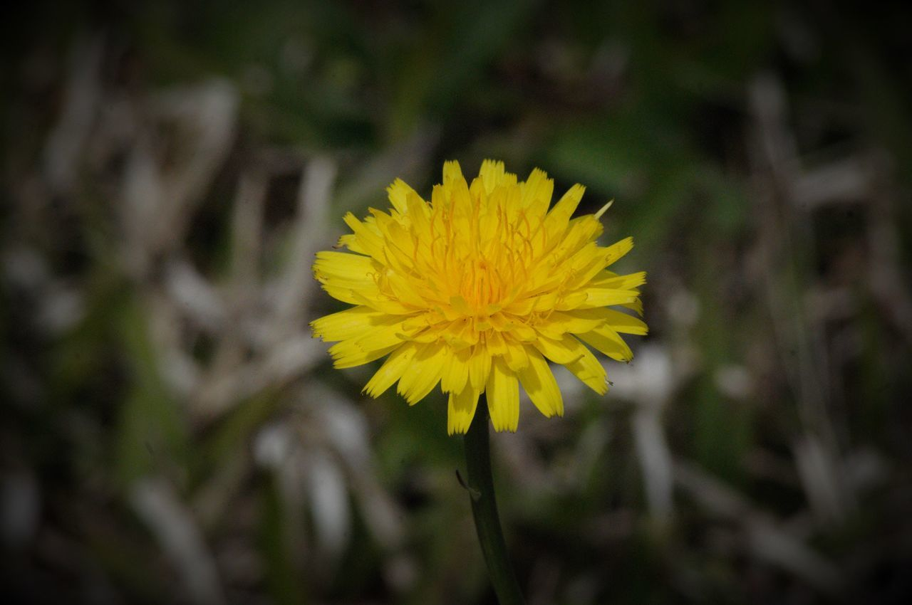 flower, yellow, beauty in nature, fragility, petal, nature, flower head, growth, freshness, close-up, plant, field, blooming, no people, outdoors, day