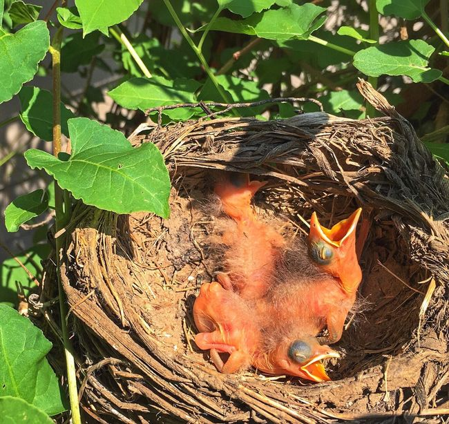 New Life 🙏🏼❤️ Hello people Nest Baby Birds Hatched Life Babies Baby Robin Check This Out Bird Photography Birds Of EyeEm  Birds_collection Birds Robin Nature_perfection Natural Beauty Appreciate The Little Things In Life God's Beauty Beautiful Nature Backyard Myyard Femalephotographerofthemonth Nature Photography Tadaa Community Tiny Bird Nature On Your Doorstep Naturelovers 🐦🐦🐦 💕🙋🏻😘👉🏼