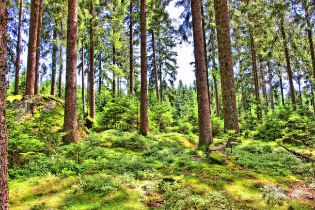 Forest Tree WoodLand Outdoors Day Wilderness HDR Hdr_Collection Hdrphotography HDR Collection Hdr_pics Hdr_gallery Black Forest Black Forest Germany Schwarzwald Schwarzwald *-*