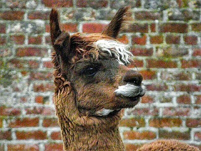 Llama Llama❤ HeatonPark From My Point Of View EyeEm Nature Lover Animal_collection Animal Photography Llama!! ❤❤❤ February