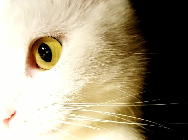 Eye Cat Catlovers Catsoneyeem Catstagram Kitty Love Focus Yellow Eyes Yellow My Favorite Photo Catlover Q Question Everything Animal Themes Cats Cat♡ Cat Lovers Kitty Cat Kittylove Kitty Catoftheday Catsagram Here Belongs To Me Cats 🐱 Catsoftheworld
