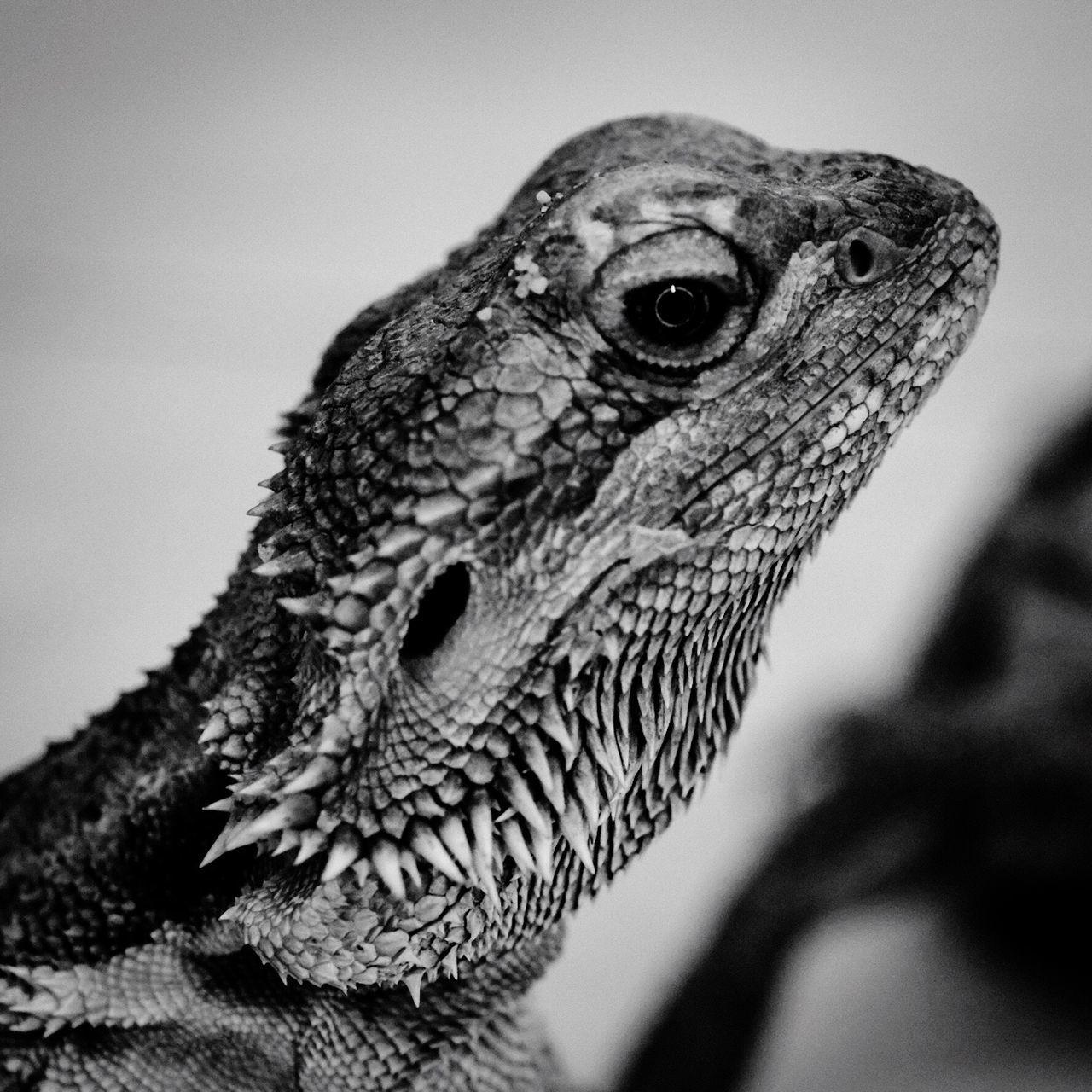 Reptile Lezard Blackandwhite Black And White Black & White Friend