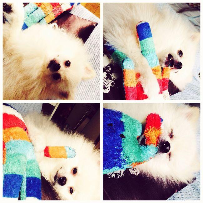 Pomeranian I Love My Dog Korosuke