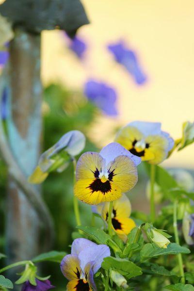 Nature Photography Pansies Flowers In Spring Yelllowflower Cheerful Colors Pansies In Sunshine Pansies