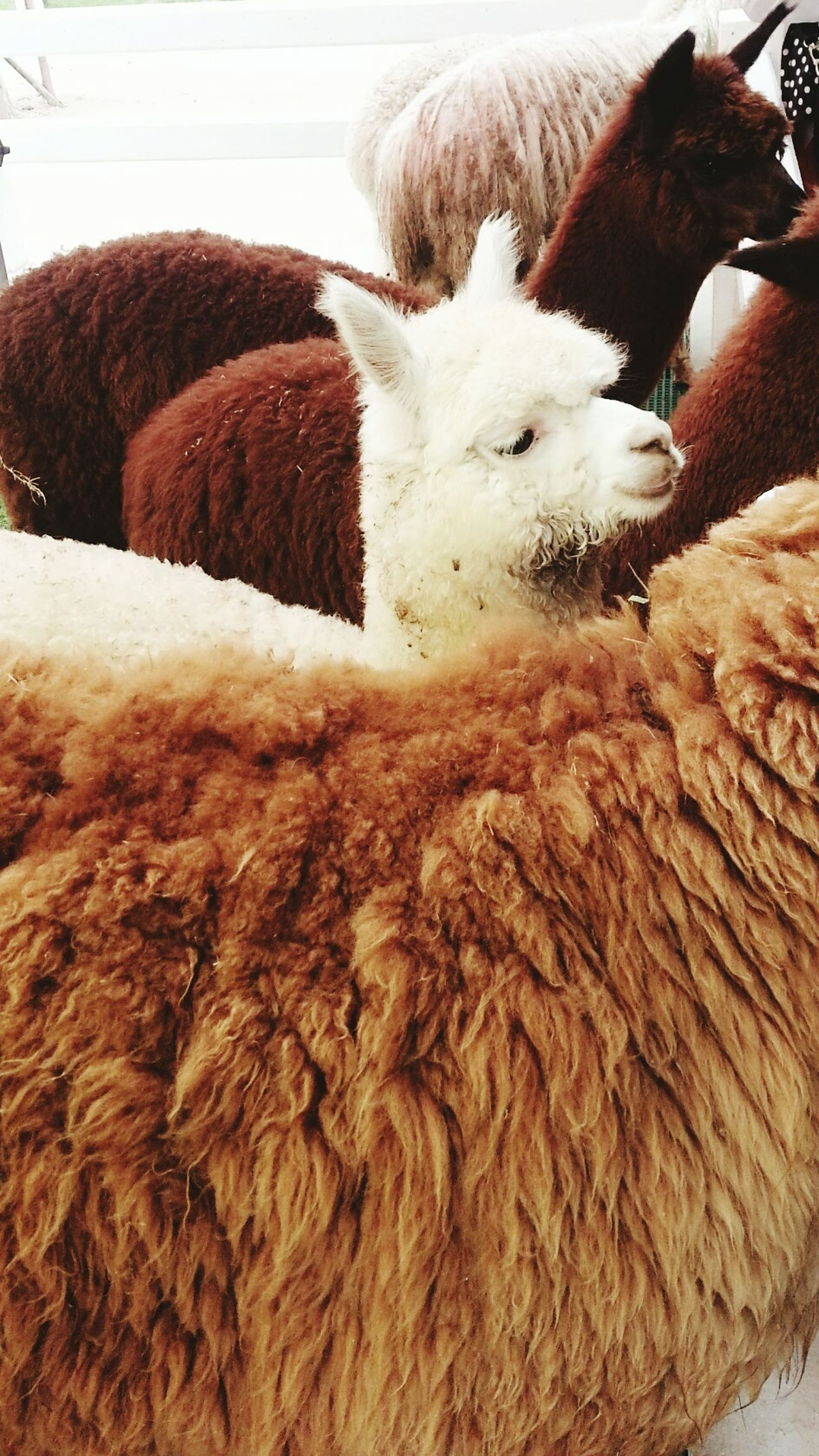 Sheep Farm Sheep🐑 Smiling Smile Love  Farm Animals Animals In The Wild Animal_collection