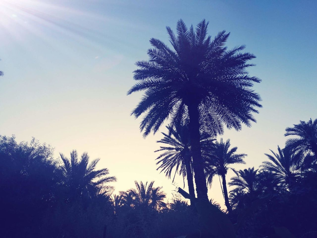 palm tree, tree, low angle view, silhouette, sky, nature, outdoors, no people, growth, beauty in nature, clear sky, sunlight, scenics, day