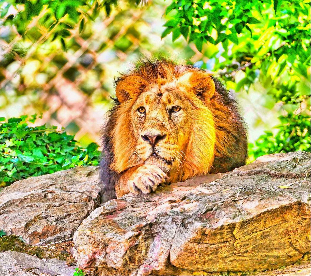 Beautiful stock photos of lion, Animal Themes, Animals In The Wild, Close-up, Day