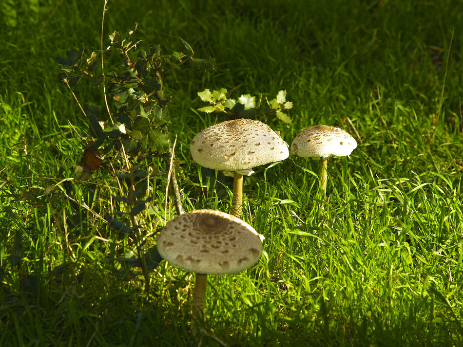 Macrolepiota procera - Edible mushroom in the grass Autumn Beauty In Nature Day Dirty Edible Mushroom Field Focus On Foreground Fragility Full Frame Fungus Grass Grass Area Growing Mushroom Nature No People Toadstool Tranquility Uncultivated Wilderness Macrolepiota Procera Macrolepiota
