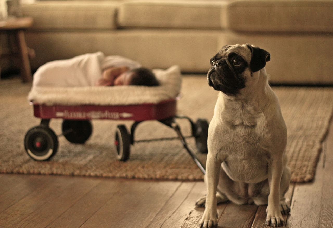 Beautiful stock photos of pugs, , Animal Themes, Carpet, Cart