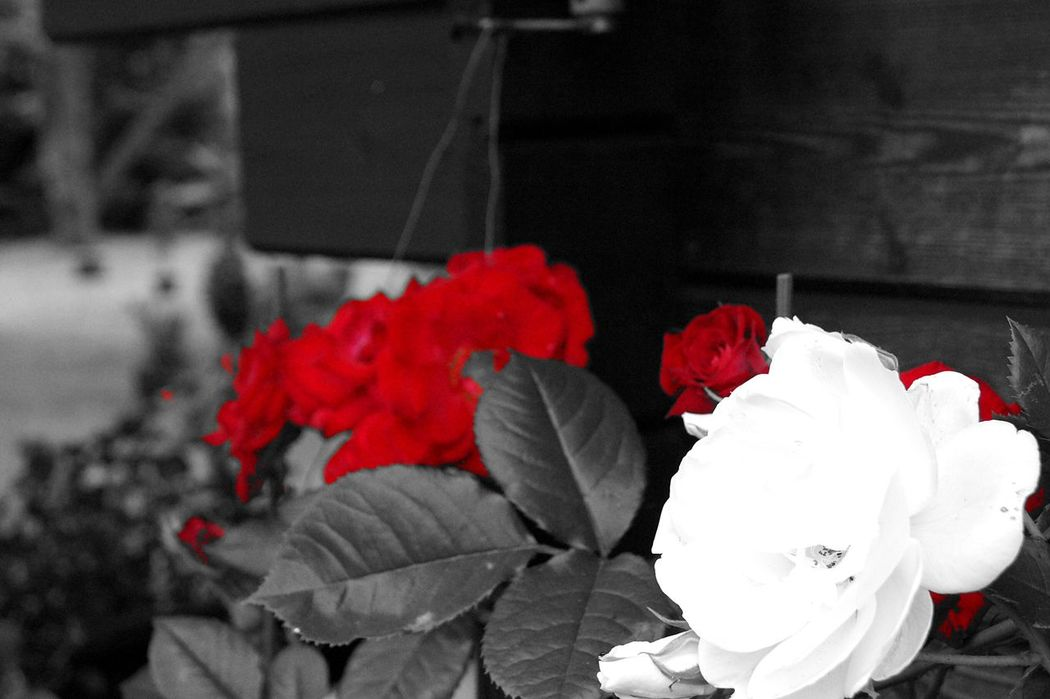 Red Rose White Rose Blackandwhite Black And White Black & White Black&white Red Flowers Roses Red Accent Spring Garden Nature EyeEm Nature Lover Nature_collection in Gera , Thuringia Germany EyeEmNewHere