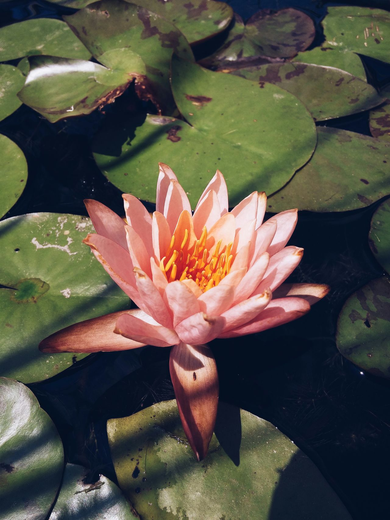 A small Water Lily Nymphaeaceae on a pond