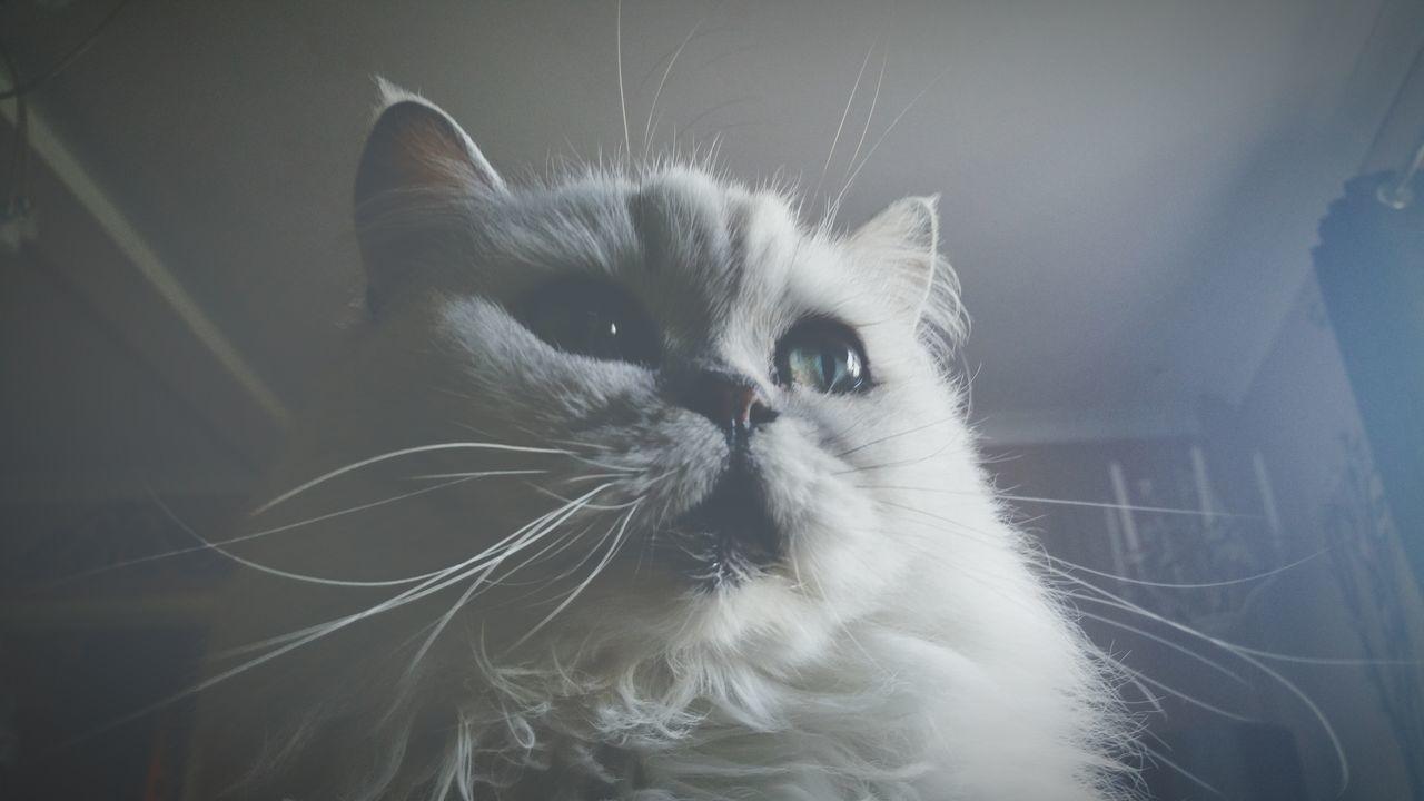 My Cat Freddie Feline Cat Pet