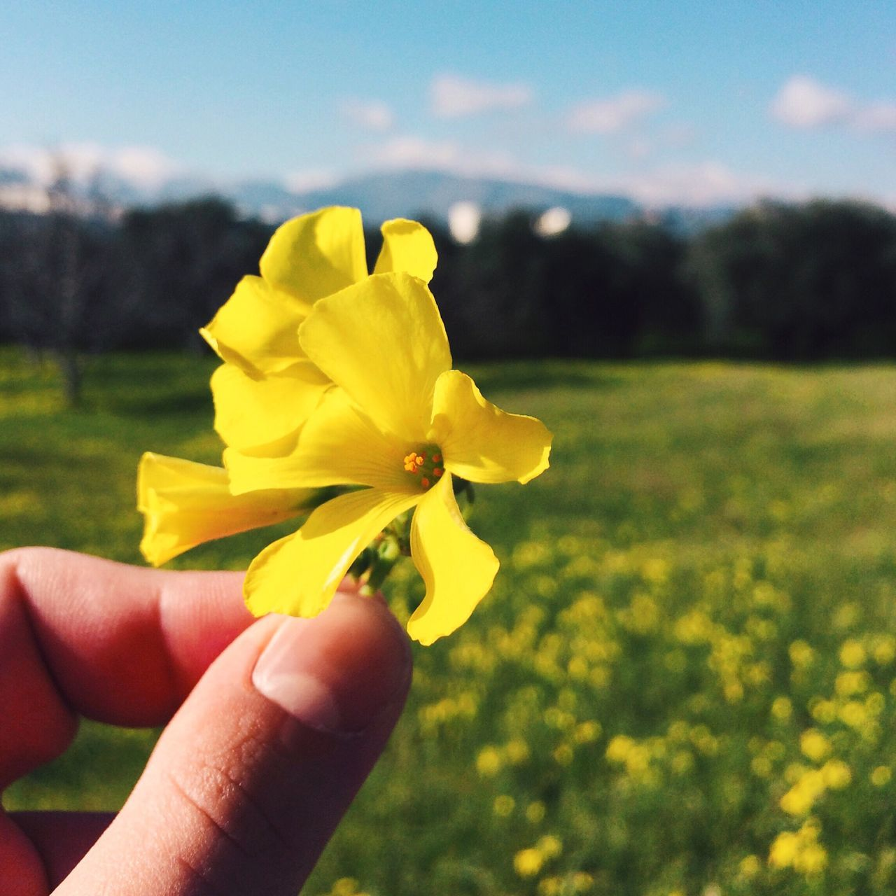 Flower Human Hand Yellow Human Body Part Nature Beauty In Nature Fragility Petal Focus On Foreground Real People Field Freshness Holding Outdoors Flower Head Close-up Day Springtime Plant