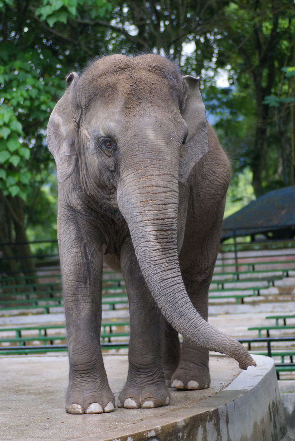 An Asian Elephant (Elephas Maximus) Strolling Alone At National Zoo Of Malaysia African Elephant Animal Themes Animal Trunk Animal Wildlife Animals In The Wild Day Elephant Mammal Nature No People One Animal Outdoors Safari Animals Tree Tusk