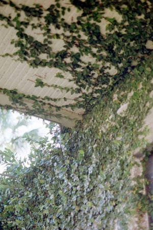Tree Green Color Tree Trunk Plant Day No People Nature Leaf Growth Ivy Close-up Outdoors Branch Plant Part Freshness St Augustine, FL Pentax Fujifilm St Augustine Film Photography 35mm Film Overgrown