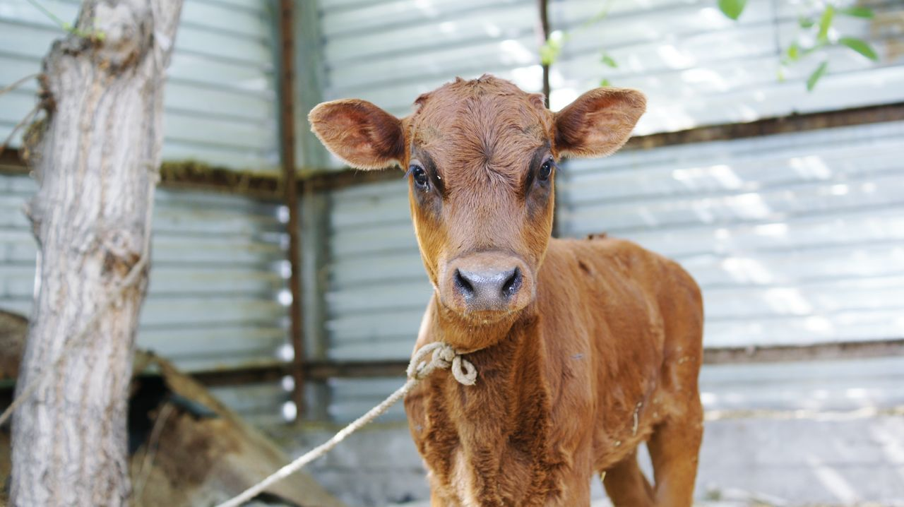 Beautiful stock photos of cow, Animal, Animal Body Part, Animal Head, Animal Themes
