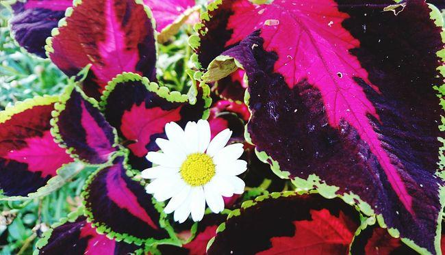 Buntnessel und Margarite Flower Photography Flower Of Eyeem Flower Collection Flowers,Plants & Garden Flowers, Nature And Beauty