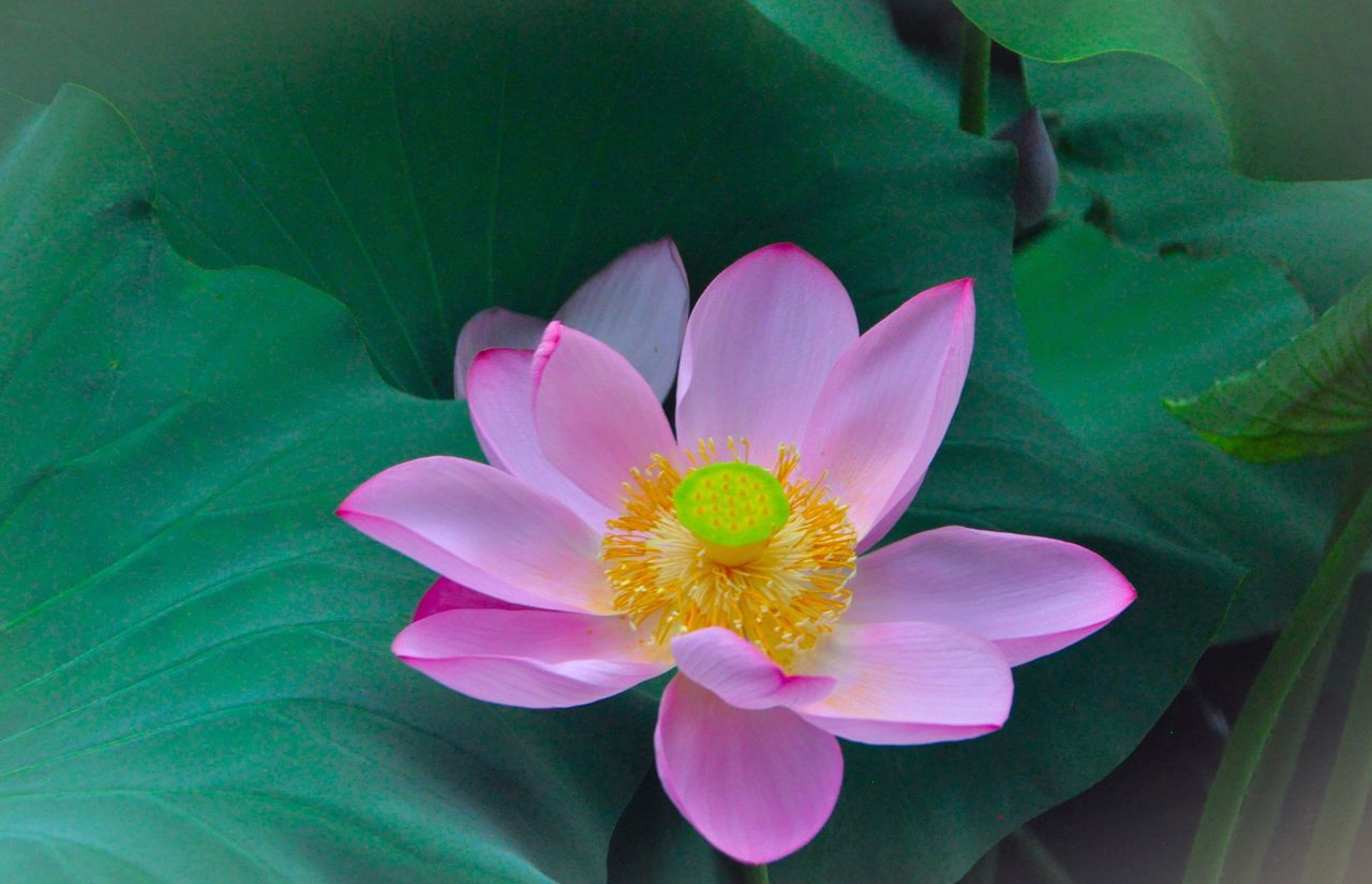 flower, petal, flower head, beauty in nature, nature, freshness, fragility, leaf, pink color, high angle view, close-up, growth, no people, plant, day, blooming, outdoors, lotus water lily