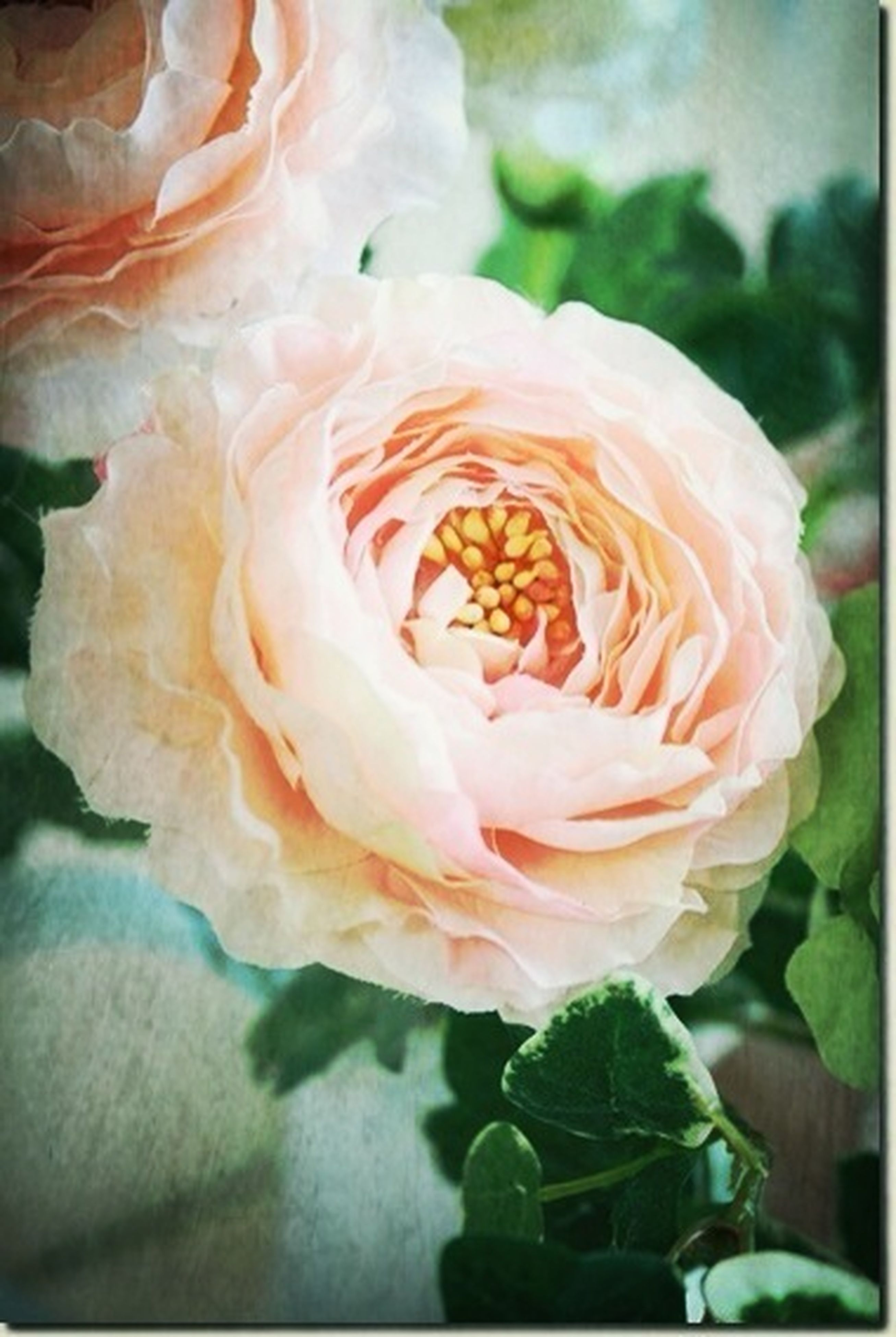 flower, petal, flower head, fragility, freshness, rose - flower, beauty in nature, close-up, nature, blooming, growth, single flower, plant, focus on foreground, in bloom, rose, white color, no people, natural pattern, day