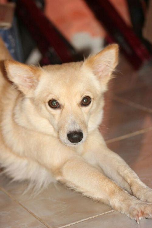Kintamani Dog Green Eyes My Dog <3 Zynga Call Name