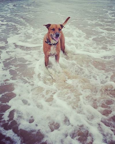 Dog at beach. Dogs Bullmastiff Cattledog Beach Sand Sea Water Waves Staffordshirebullterrier Ridgeback Pet Animal Cute Expression Relaxing Beautiful Loyalty Ocean Adorable Loving Nature Dog K9