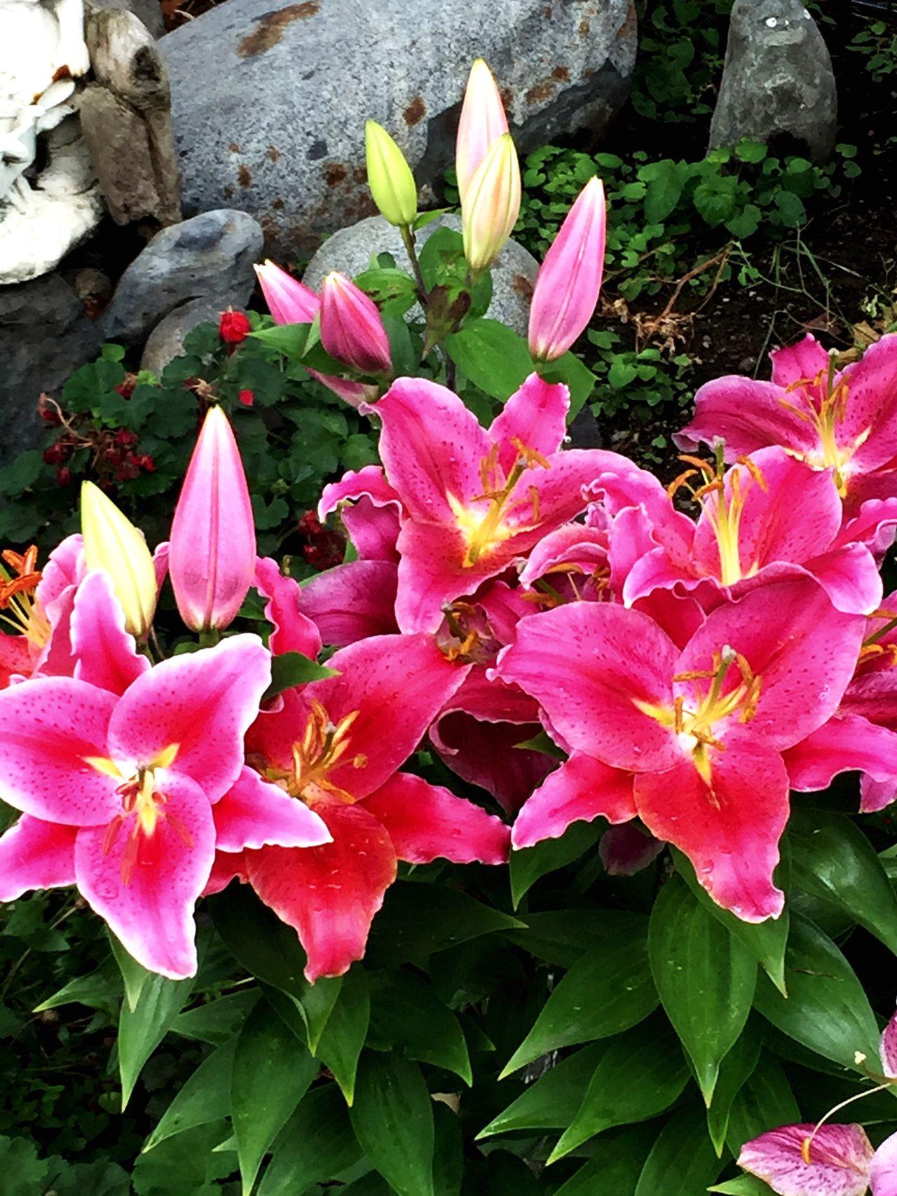 Lilies Flower Pink Color In Bloom