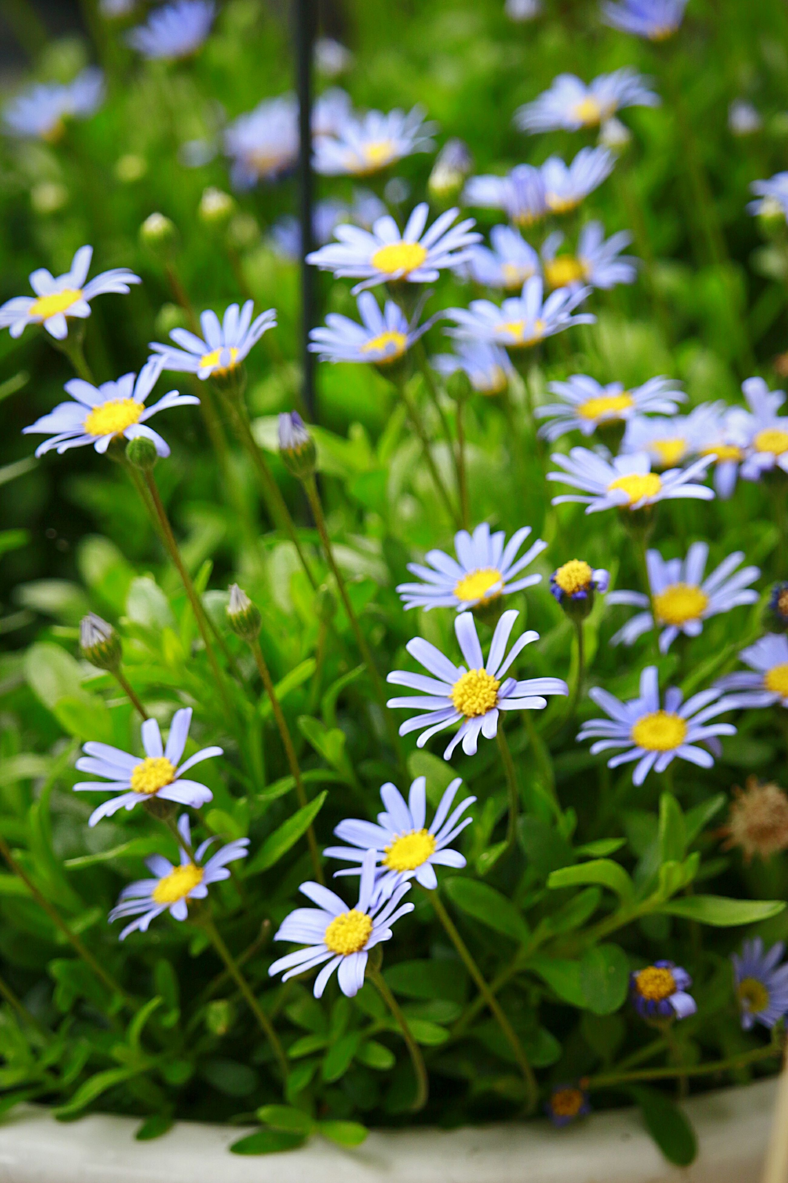 flower, freshness, fragility, petal, growth, plant, beauty in nature, blooming, white color, flower head, nature, leaf, focus on foreground, field, daisy, green color, stem, in bloom, high angle view, day