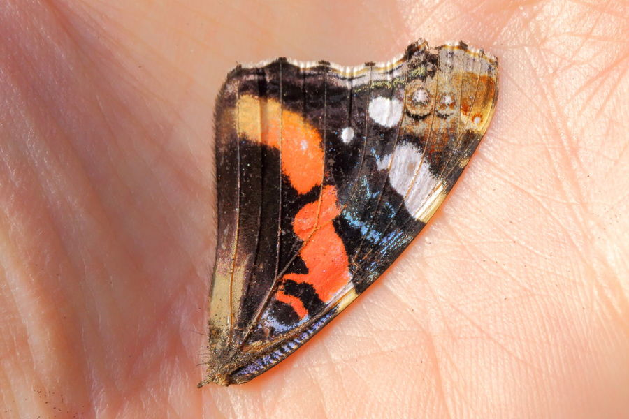 Part of a butterly wing. Animal Animal Themes Autumn Beauty Of Decay Butterfly Butterfly Wing Colorful Contrast Bye-bye Summer! Maximum Closeness EyeEm Nature Lover Farewell Fugacity Getting Inspired Human Hand Impermanence Macro Mindfulness Mortality Palm Rememberance Sad Still Life Transience Wing