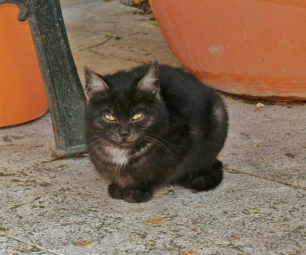 Black Cat Posing Animal_collection Cat